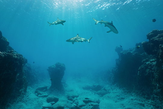 Three blacktip reef sharks underwater swimming between the ocean floor and the water surface on the outer reef of Huahine island, Pacific ocean, French Polynesia