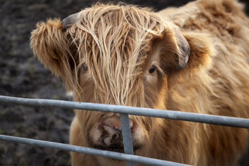 Young Highland Cattle