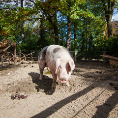 Domestic pig. Big pig. pig on a farm