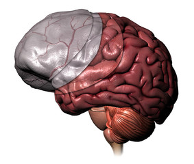 Layers of the Cerebrum