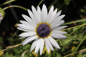 "White ""Blue-eyed African Daisy"" flower (or Silver Arctotis, Kusgousblom) in Zurich, Switzerland. Its Latin name is Arctotis Venusta (Syn Arctotis Grandis), native to South Africa."