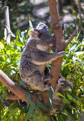 Koala with baby on the tree