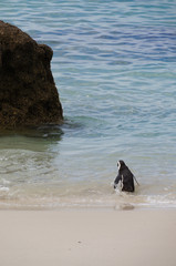 Cute penguin at Boulders Beach,Cape Town,South Africa.