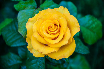 Yellow roses after the rain.