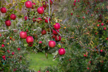 Red Apple on Apple Tree in Orchard, Ready for Harvest