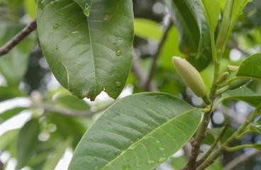 Magnolia alba