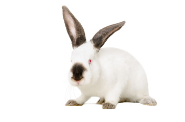 Portrait of a white albino rabbit