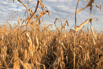 Agricultural field with corn autumn. Corn Field autumn.