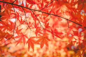 autumnal background, slightly defocused red maple leaves , vinta