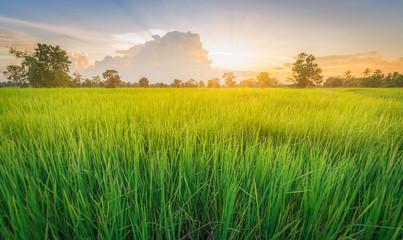 Fotobehang Platteland Rice field green grass landscape sunset