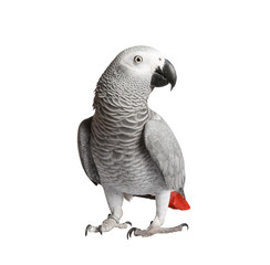 Foto op Plexiglas Papegaai Gray parrot Jaco on a white background