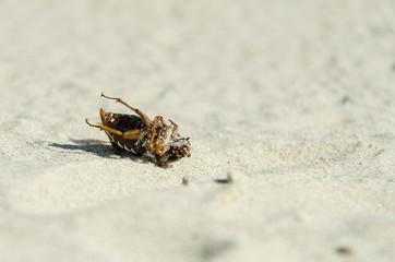 Dead beetle on the beach