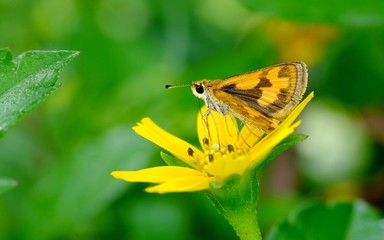 Brown moth perched on yellow flower