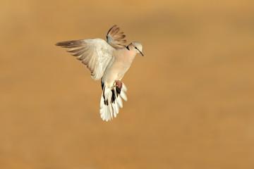 Cape turtle dove (Streptopelia capicola) in flight, Kalahari desert, South Africa.