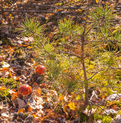 Two little mushroom Amanita muscaria