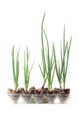 .spring onion plant
