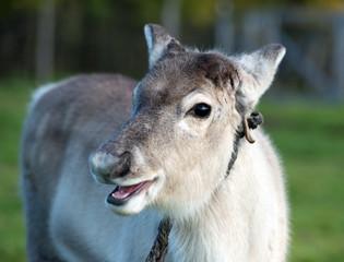 calf of a reindeer,Norway