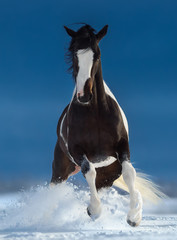 Fototapete - Beautiful American Paint horse