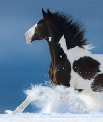 Fototapete - Pinto horse gallops across a winter snowy field