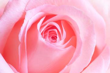 Pink rose, floral motif wallpaper