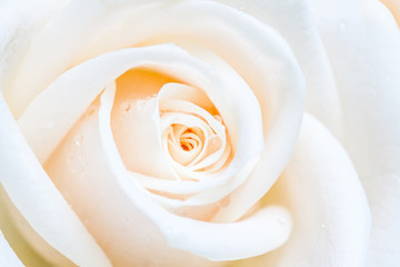 Beautiful white rose with drops. Soft blurred, bokeh focus, floral background. Beautiful white rose with drops