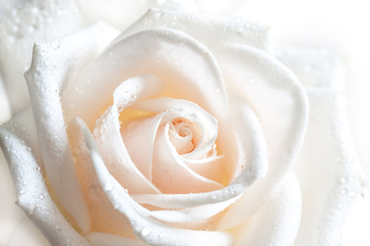 Floral background with soft light effect, image of beautiful white rose with drops.