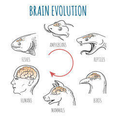 Brain Evolution illustration