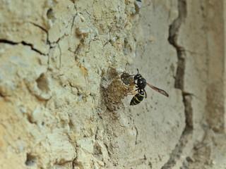 Nestbau der Gemeinen Schornsteinwespe (Odynerus spinipes)
