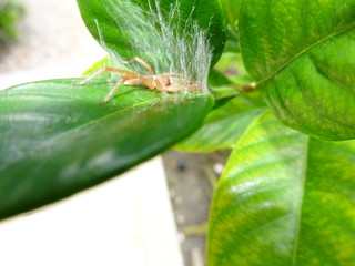 brown bug in a gardenia plant