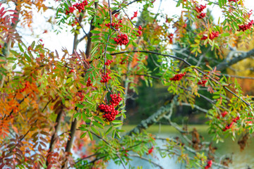 Bunches of ripe mountain ash