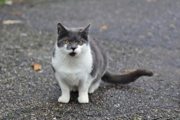 chat européen blanc et gris bicolore sur trottoir asphalté