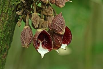 Baum-Pfeifenblume (Aristolochia arborea)