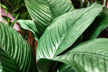 Plant with big green leaves, closeup