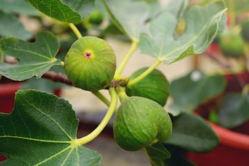 green fresh figs growing in clay pot inside a garden.