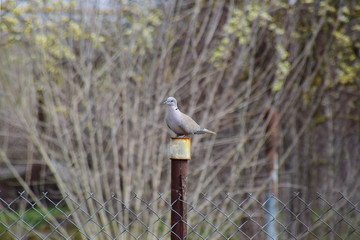 Turtledove is sitting on an iron column. Dove in the village on the fence