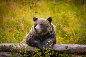 Wild Grizzly Bear in Banff National Park in the Canadian Rocky Mountains