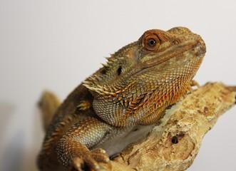 Red and Orange Citrus Bearded Dragon Lizard