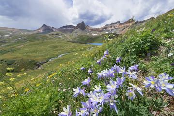 Colorado Columbine Flower on Ice Lake Trail in San Juan Mountains, Colorado