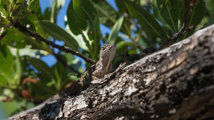 Brown Anole Lizard On A Tree, Tavernier, Key Largo, Florida