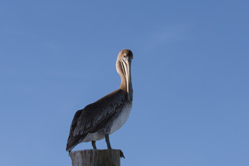 Brown Pelican, Tavernier, Key Largo, Florida