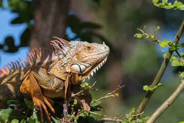 Green Iguana, Tavernier, Key Largo, Florida