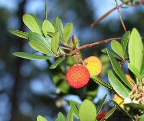 Photos illustrations et vid os de arbouse - Fruit de l arbousier ...