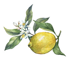 Arrangement with whole and slice fresh citrus fruit lemon with green leaves and flowers. Hand drawn watercolor painting on white background.