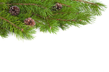 Fresh green Natural Pine Branches with cones