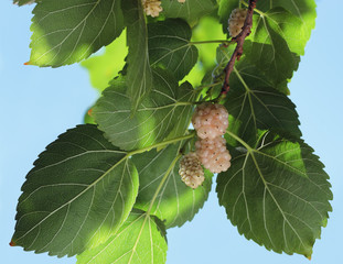 White mulberry, known as Morus alba. The branch with ripe and unripe fruits of white mulberry.