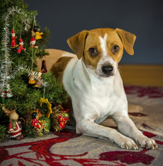 Small terrier dog and Christmas tree