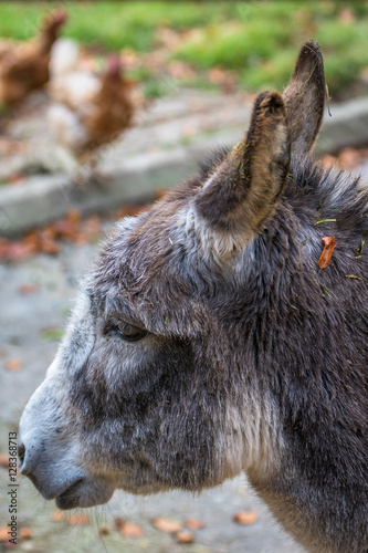 Gray donkey portrait
