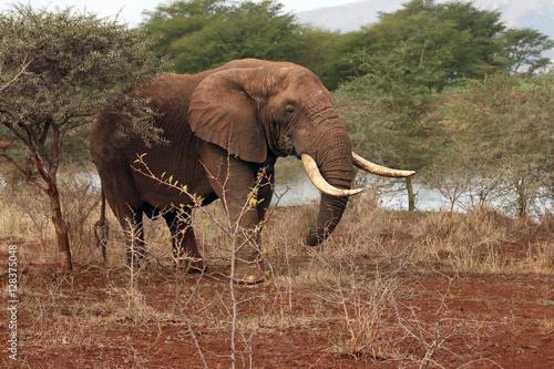 The African bush elephant (Loxodonta africana), very big bull