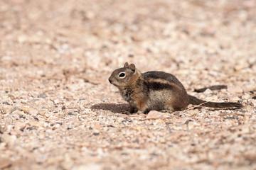 Golden-Mantled Ground Squirrel (Spermophilus lateralis)