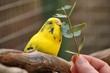 Budgie treat . Pet budgie Melopsittacus Undulates enjoying eucalyptus leaves